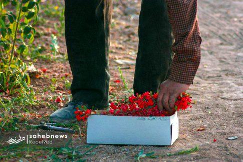 برداشت زرشک از 10 هکتار اراضی شهرستان برخوار (8)